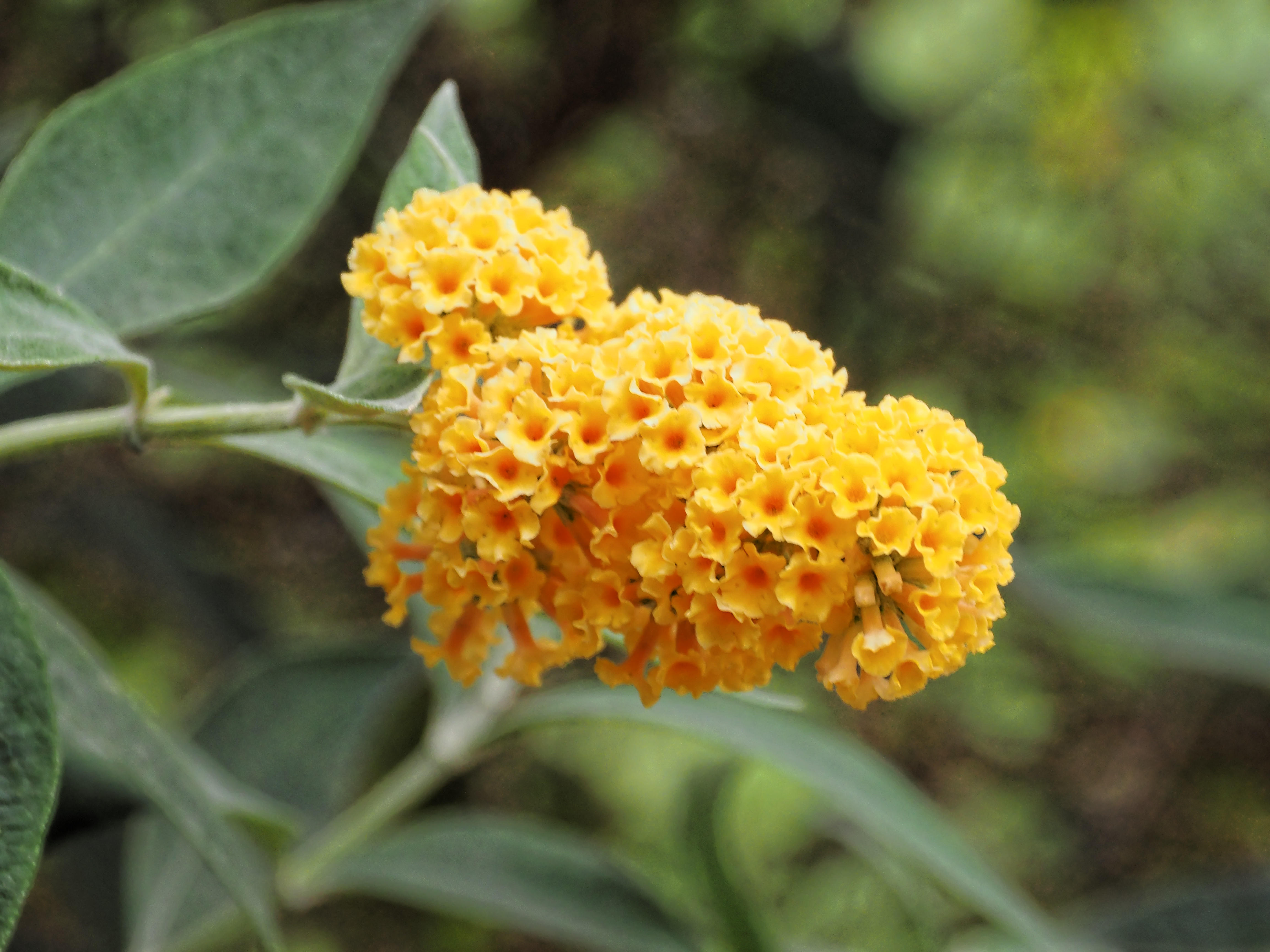 This should be Buddleja-1.jpeg.  Is it missing?