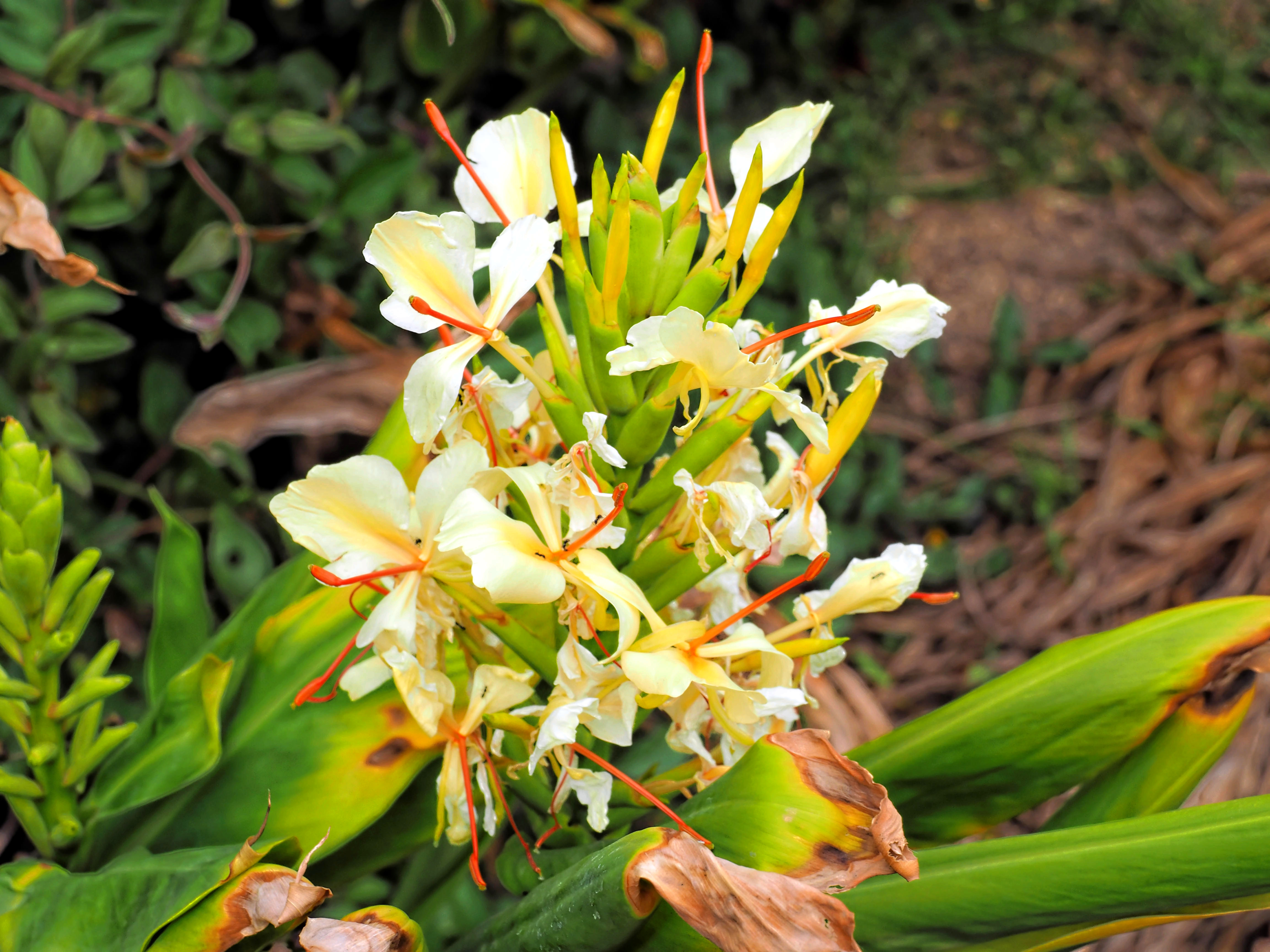 Helichrysum.jpeg