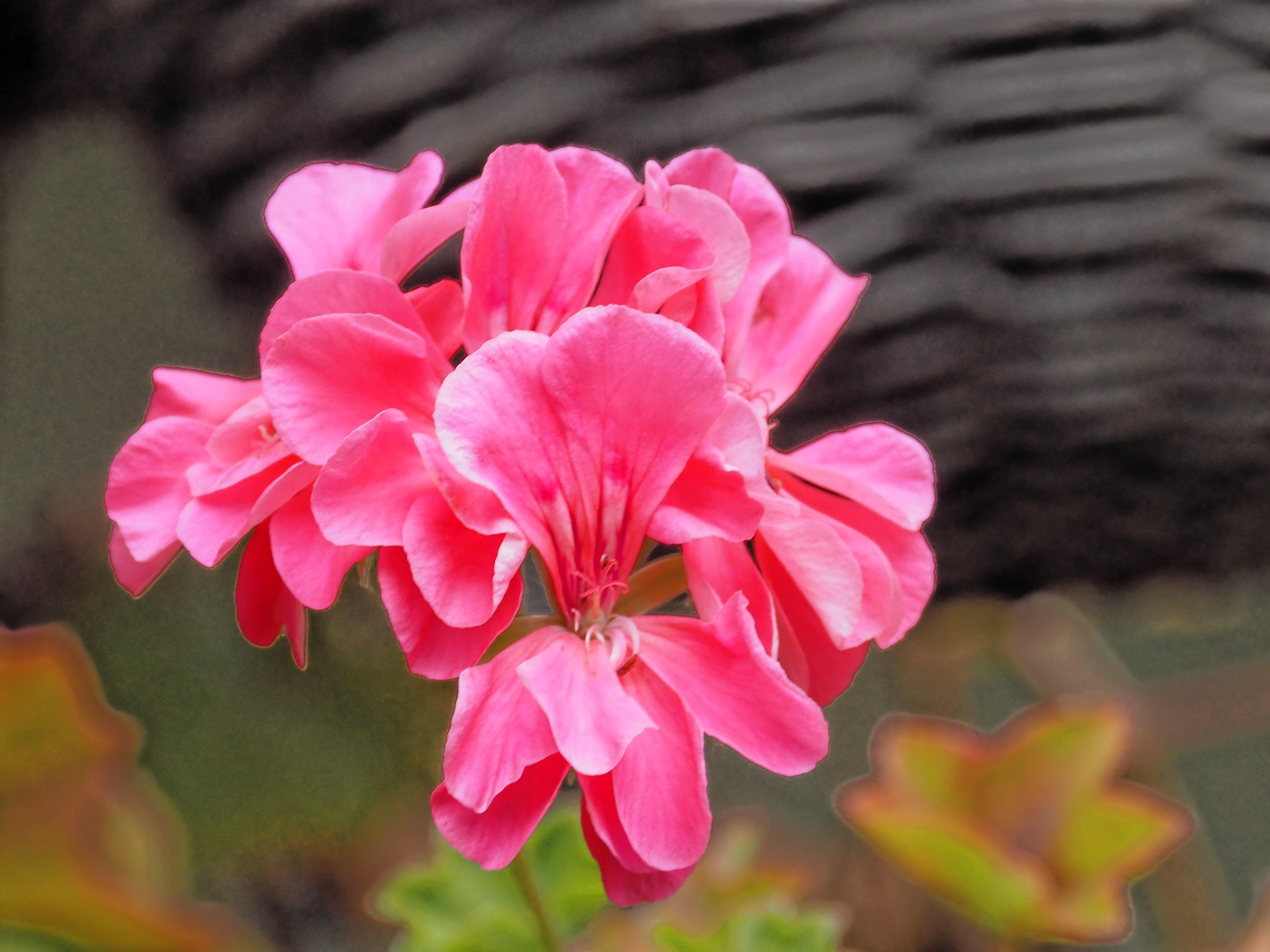 This should be Pelargonium-4.jpeg.  Is it missing?
