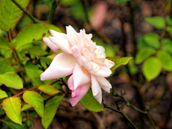 Rose-8.jpeg