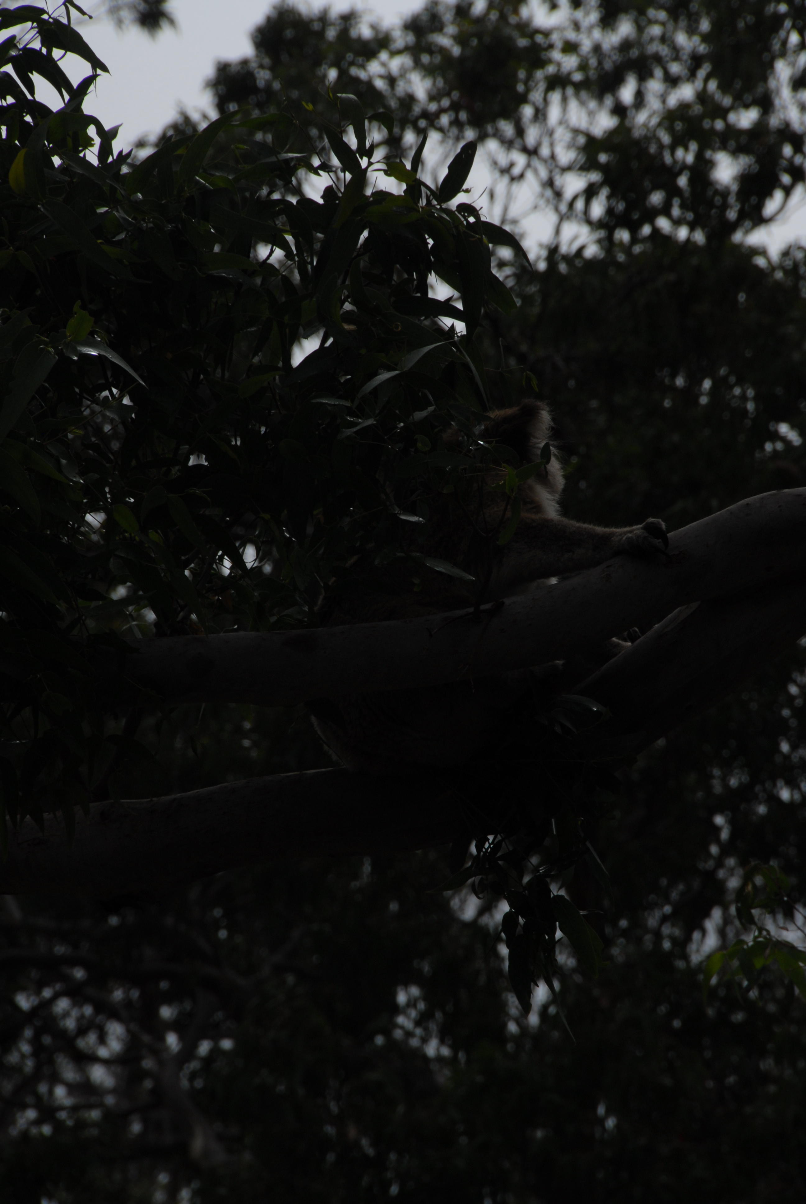 Koalas-196.jpeg