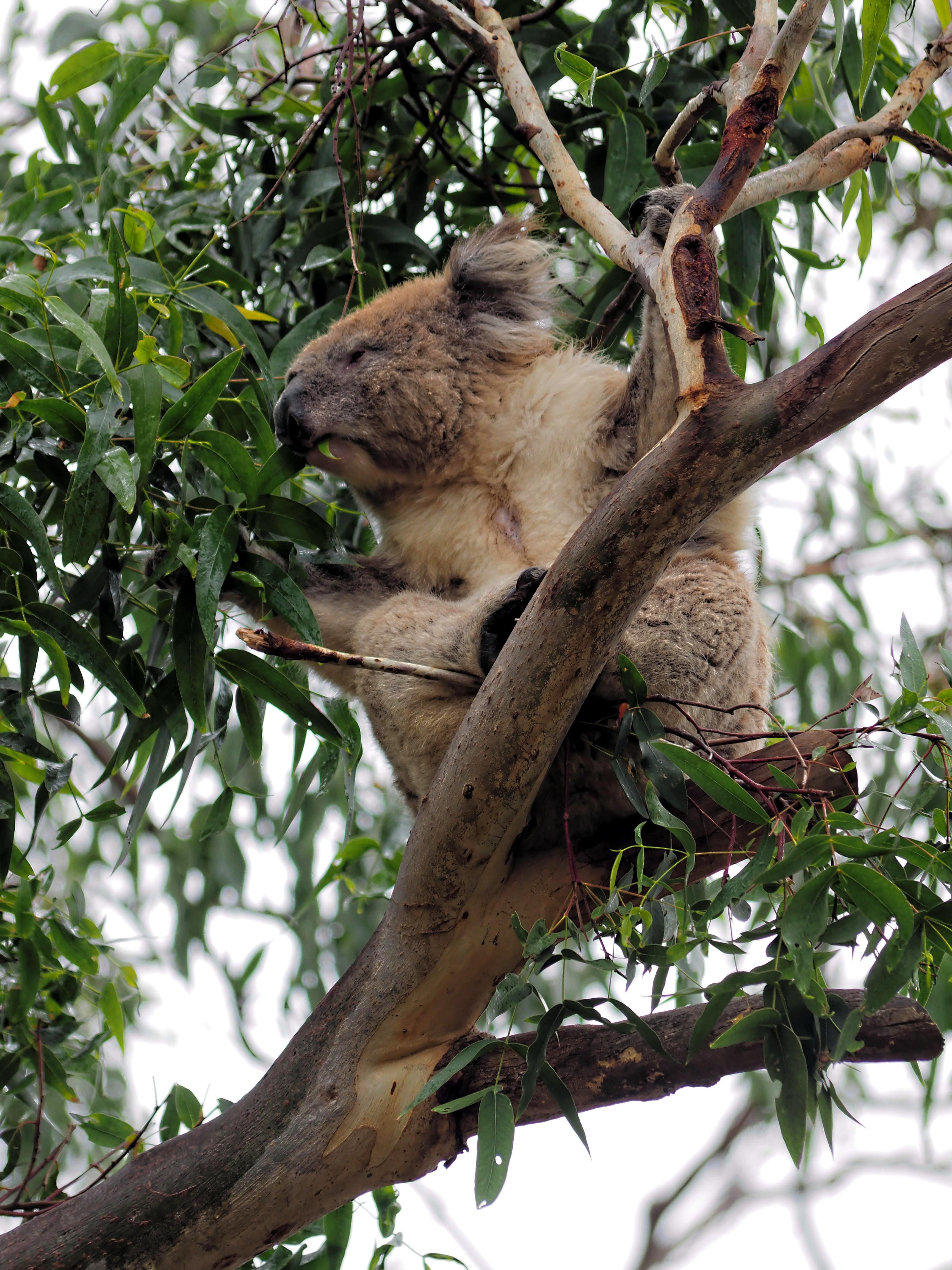 Koalas-29.jpeg