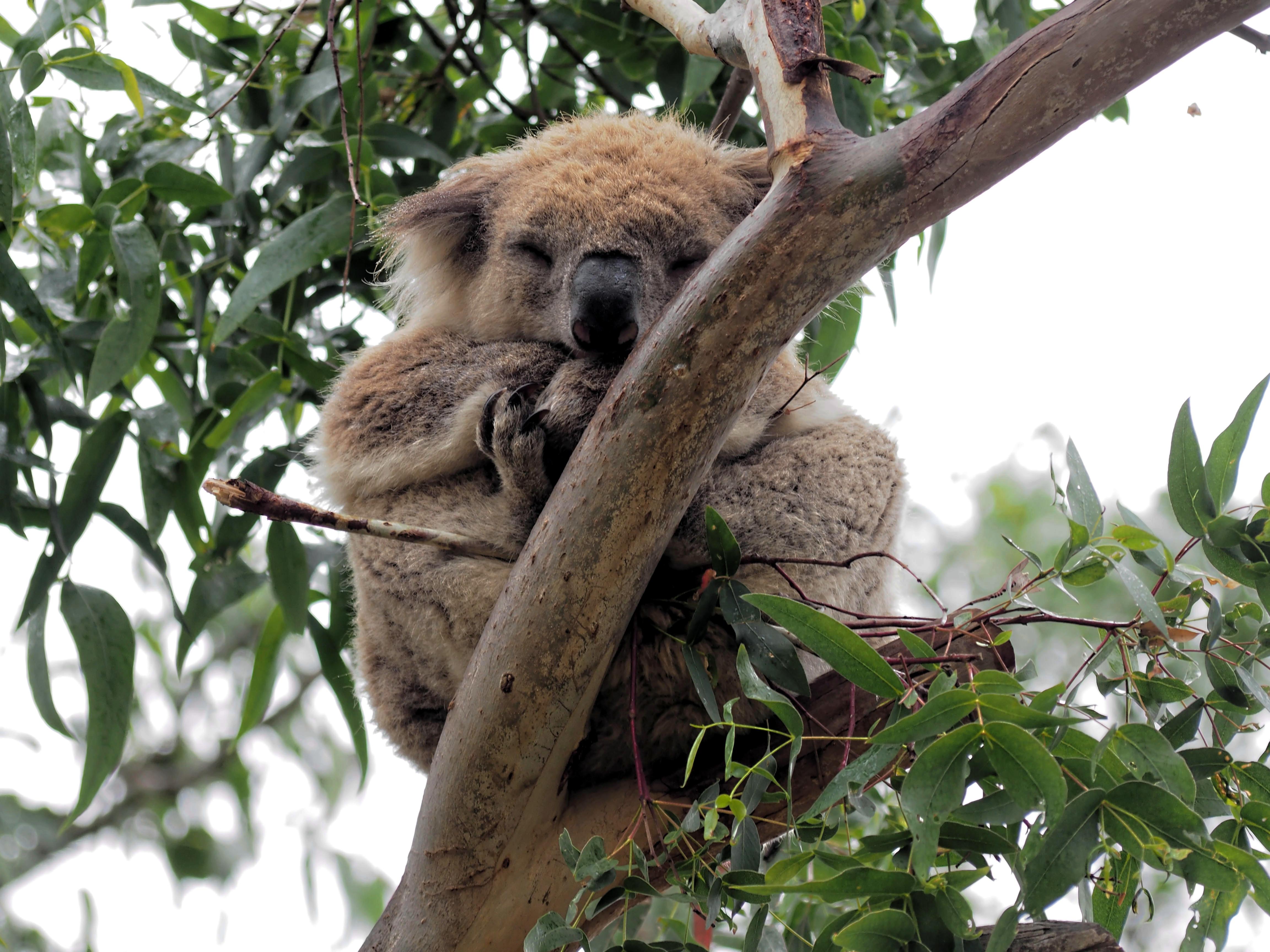 Koalas-8.jpeg