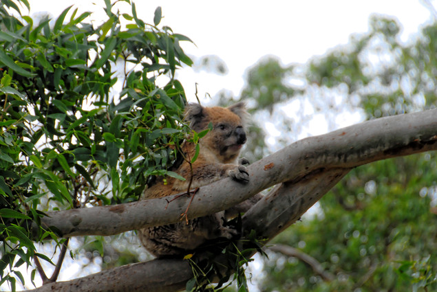 Koalas-192.jpeg