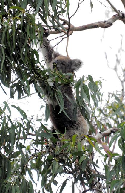 Koalas-53-detail.jpeg