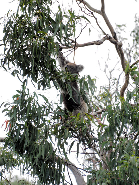 Koalas-53.jpeg