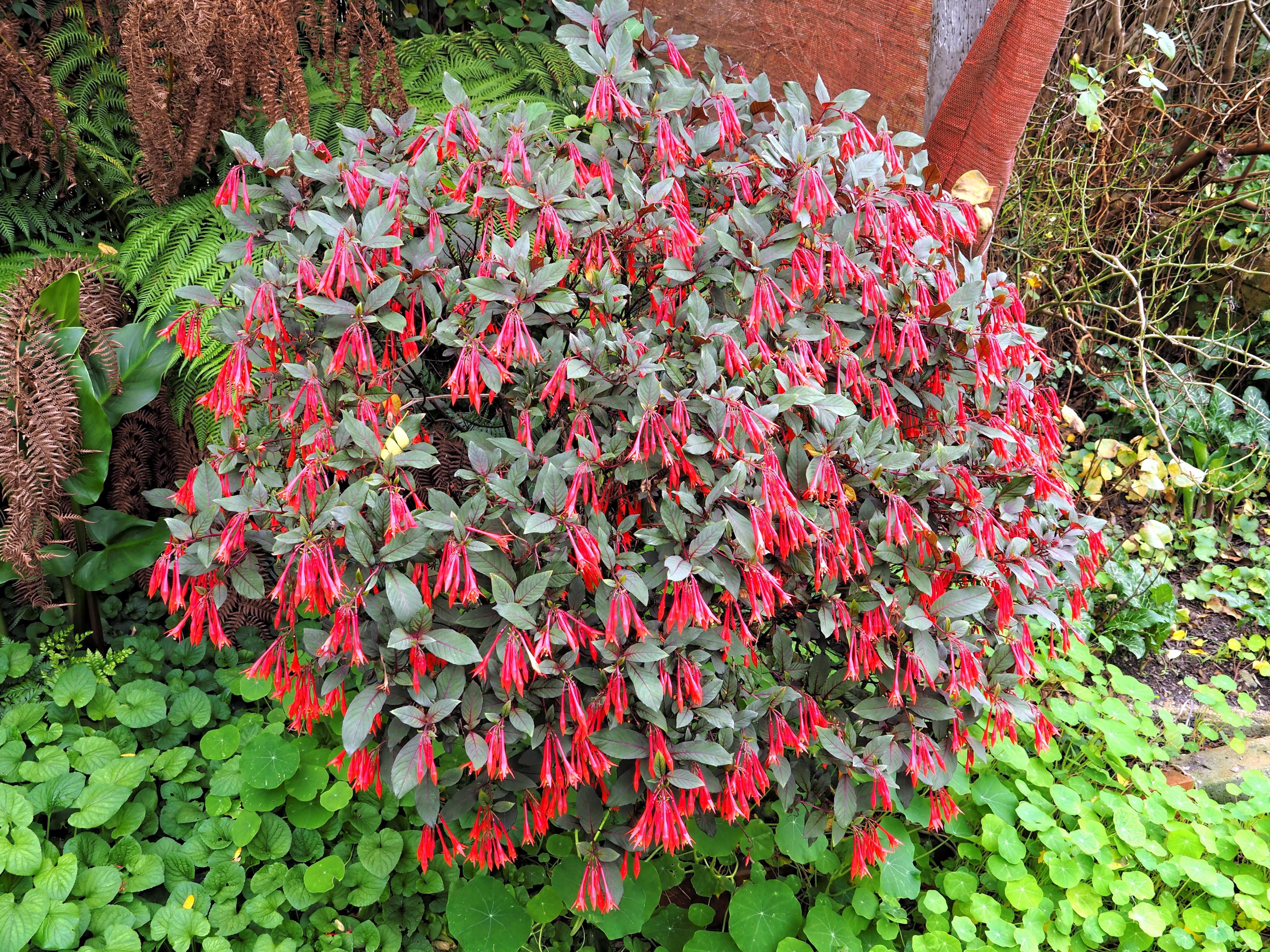 Fuchsia-2.jpeg