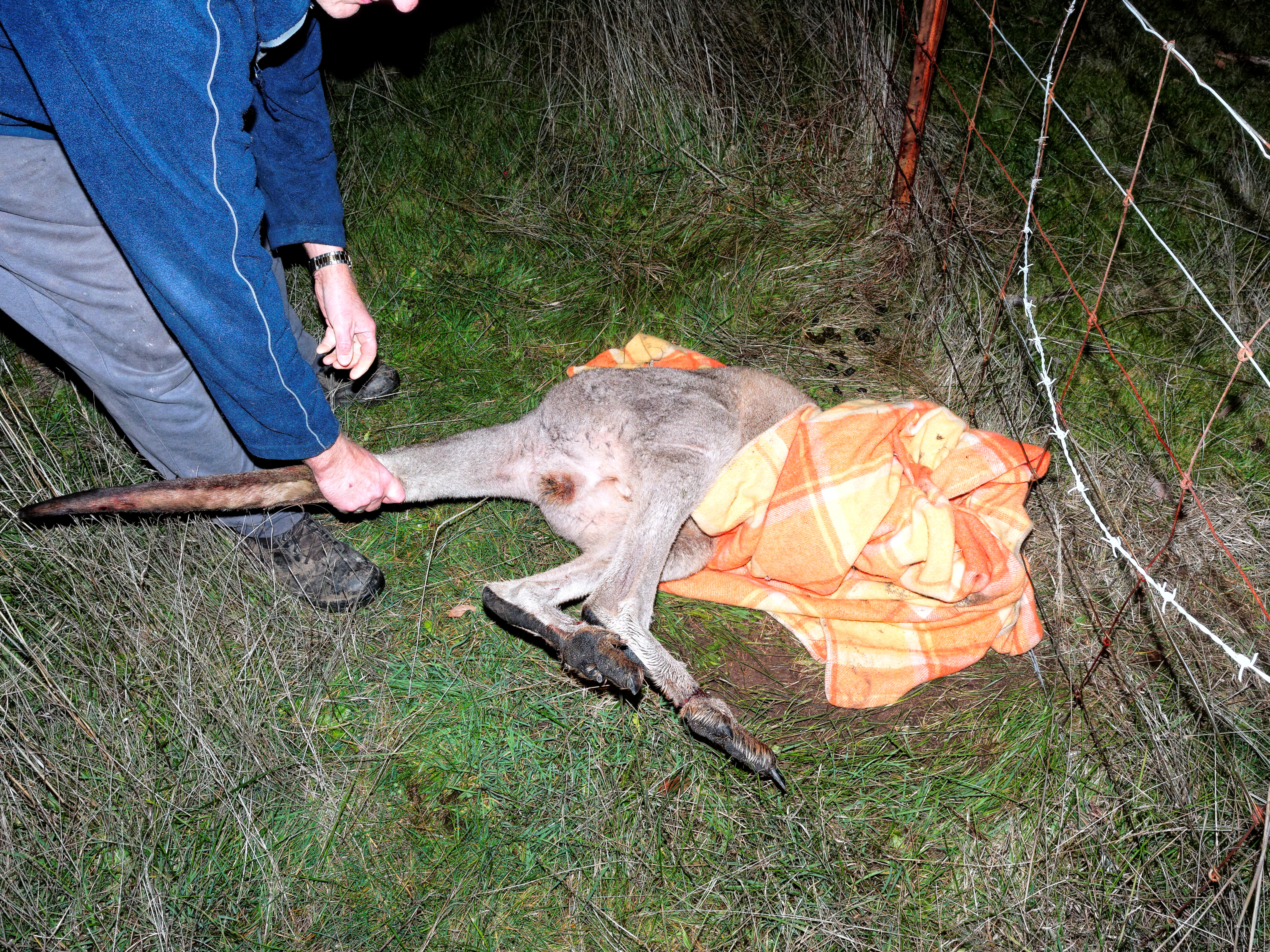 This should be Trapped-kangaroo-11.jpeg.  Is it missing?