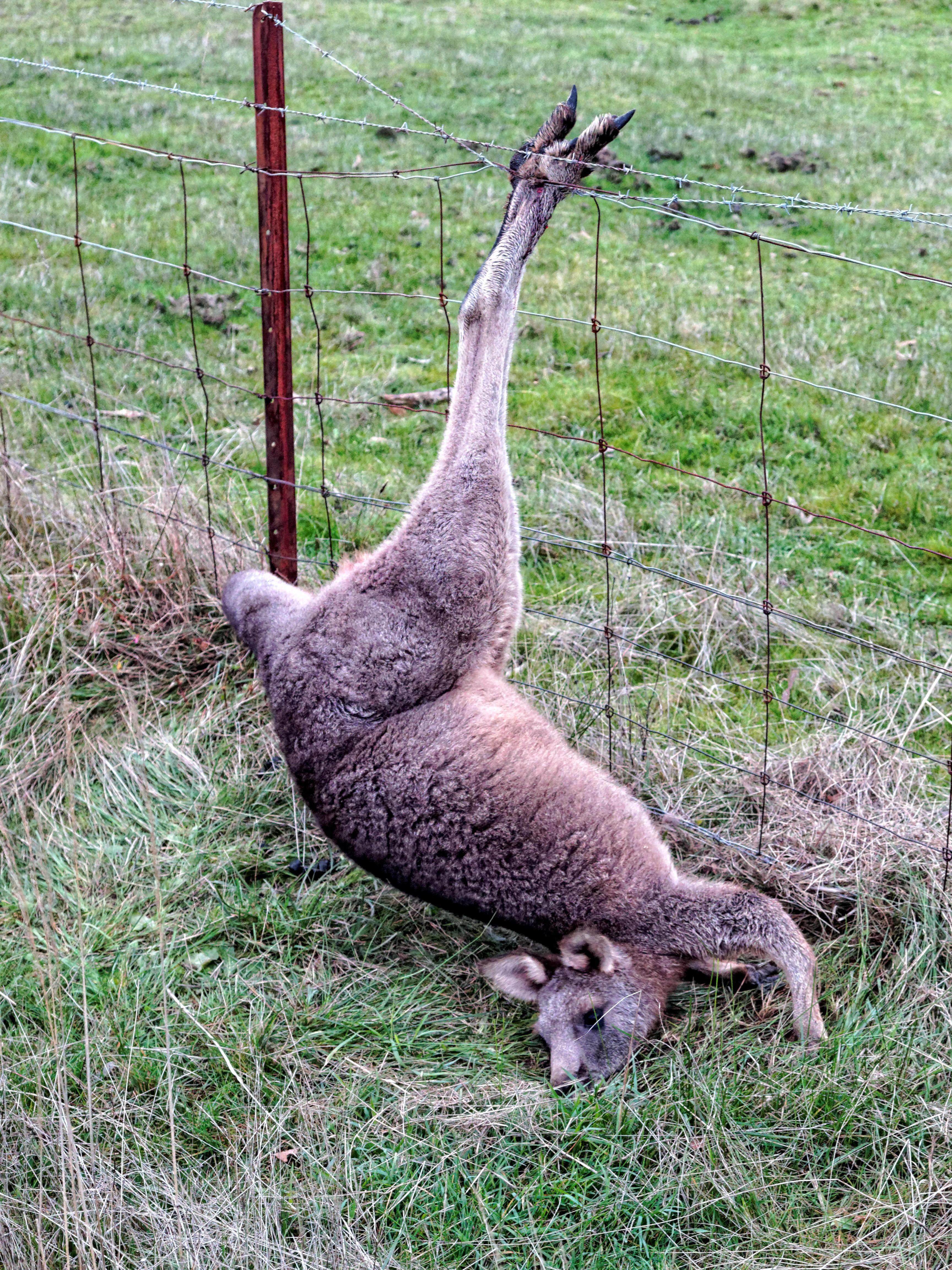 Trapped-kangaroo-2.jpeg