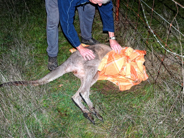 Trapped-kangaroo-12.jpeg