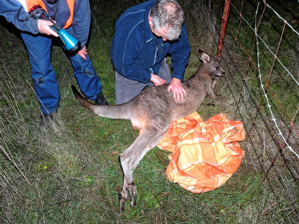 Trapped-kangaroo-21.jpeg