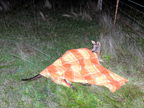 Trapped-kangaroo-29.jpeg