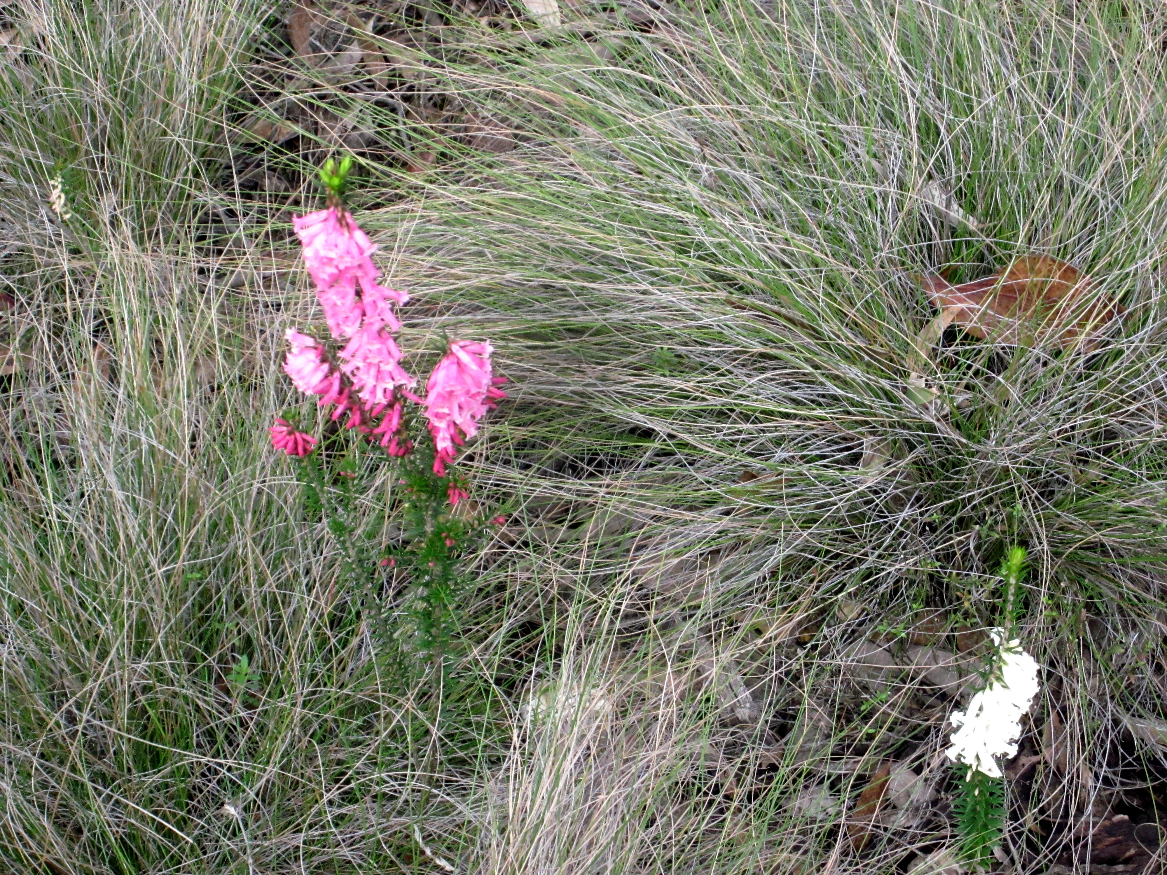 This should be Epacris-impressa-8.jpeg.  Is it missing?