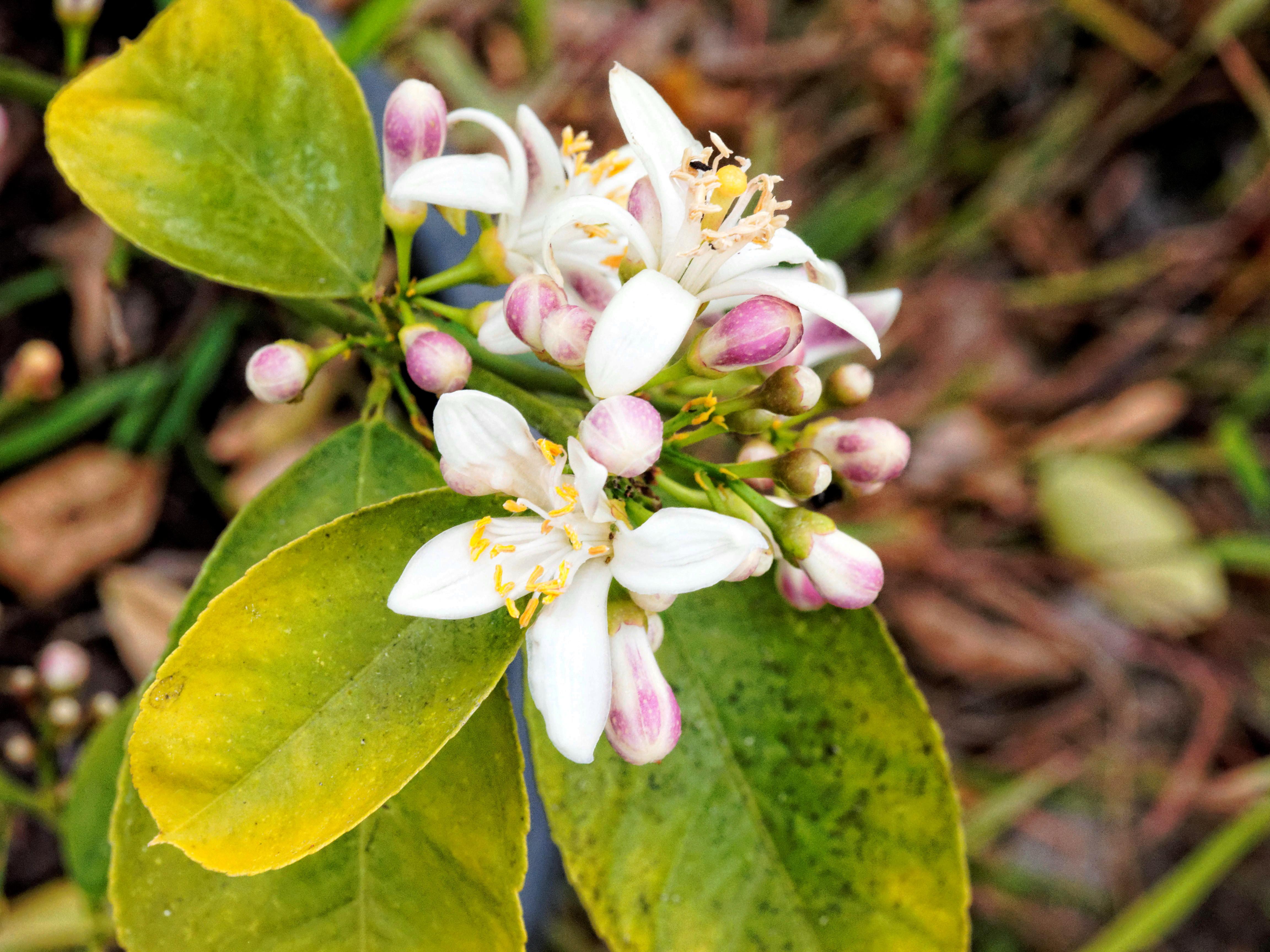 Lemon-flower-2.jpeg
