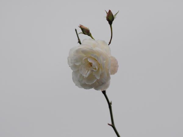 Rose-2.jpeg