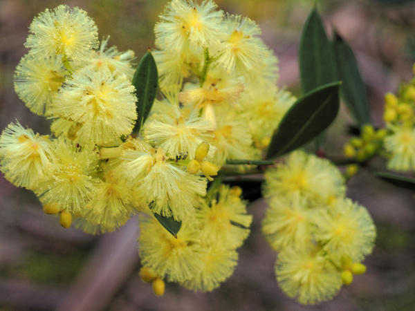 Acacia-1.jpeg