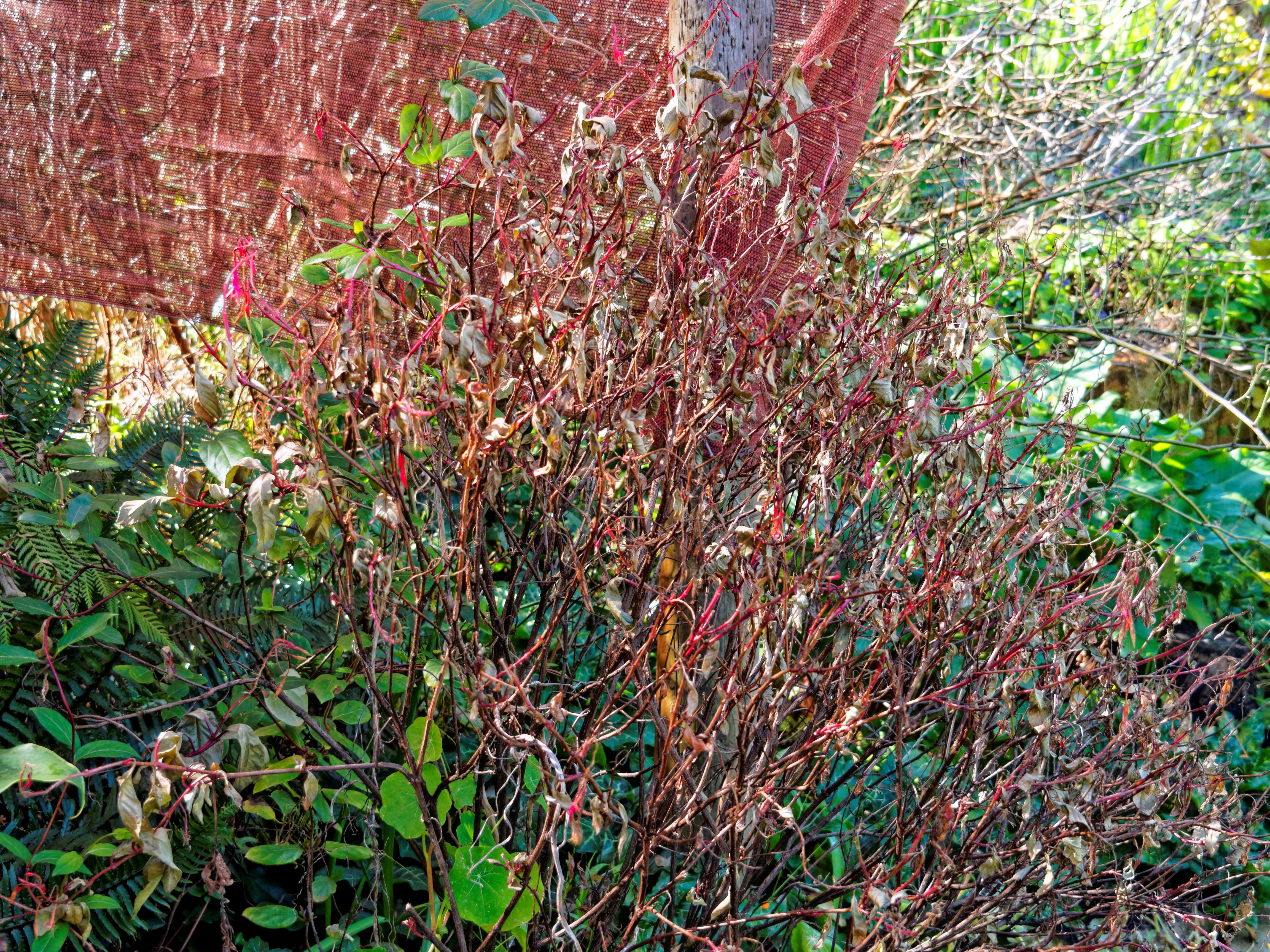 Fuchsia-triphylla.jpeg