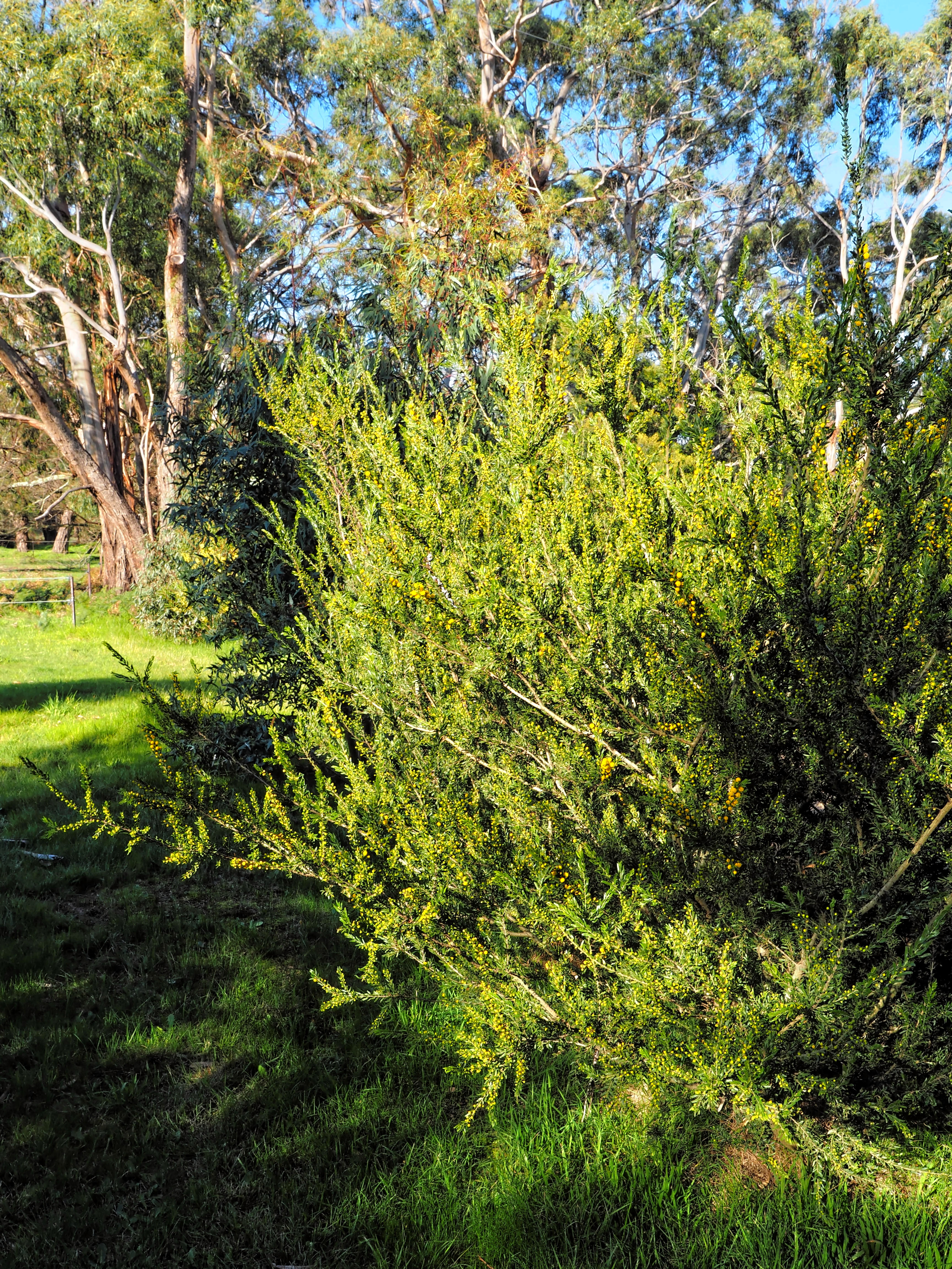 Acacia-paradoxa-1.jpeg