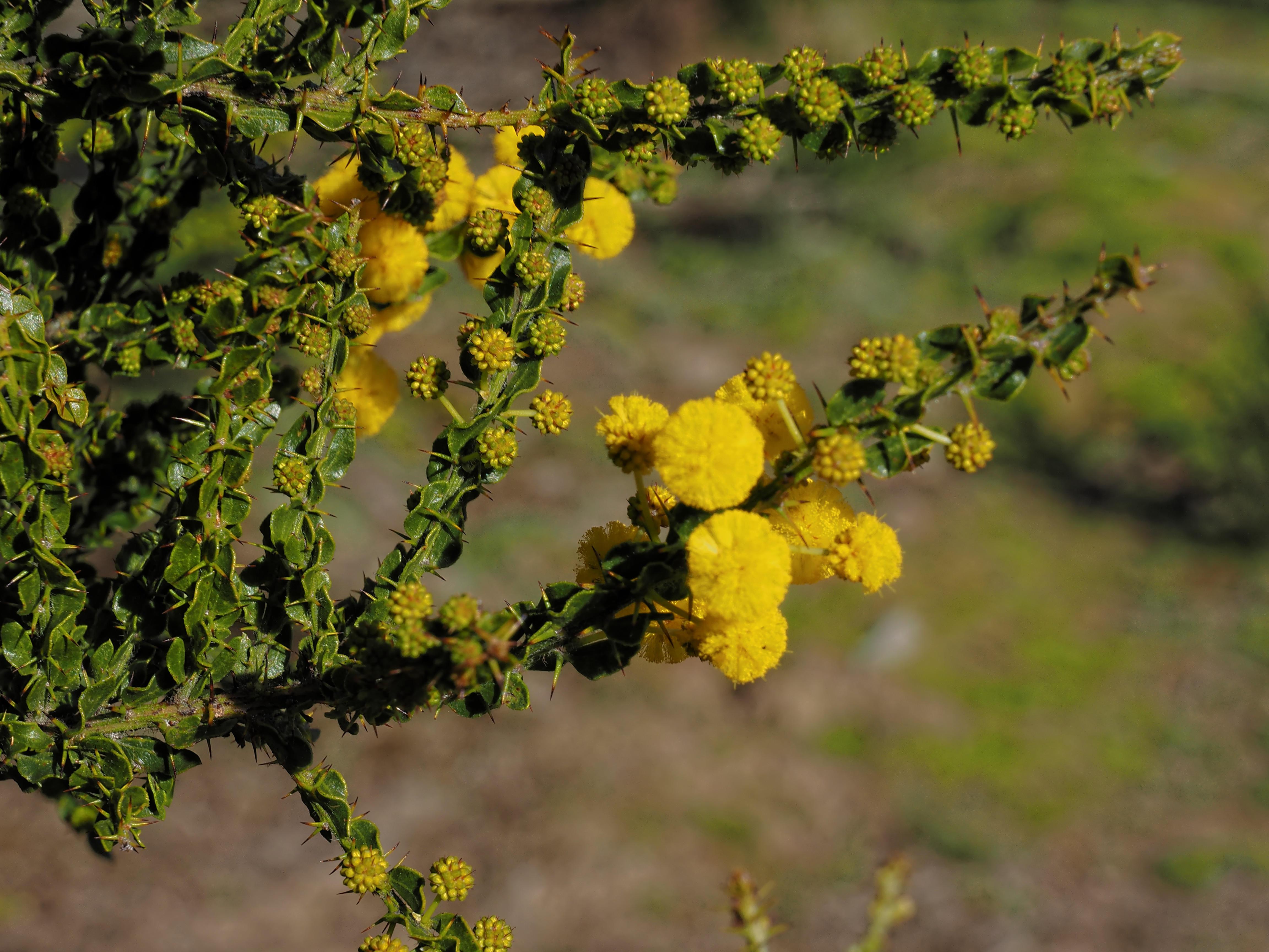 Acacia-paradoxa-6.jpeg