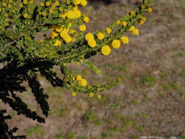 Acacia-paradoxa-3.jpeg