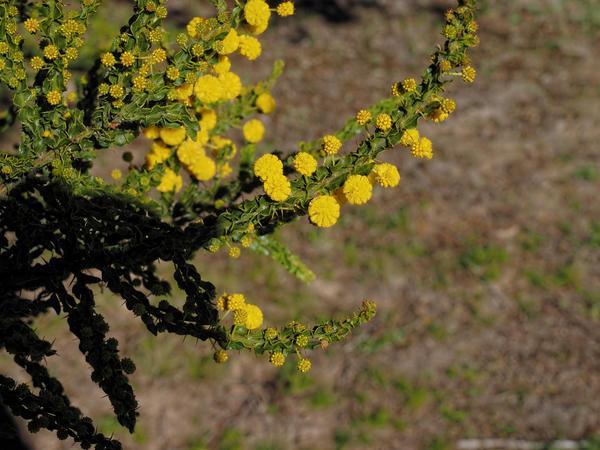 Acacia-paradoxa-4.jpeg