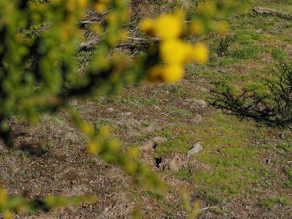 Acacia-paradoxa-5.jpeg