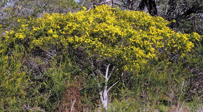Acacia-paradoxa-7.jpeg
