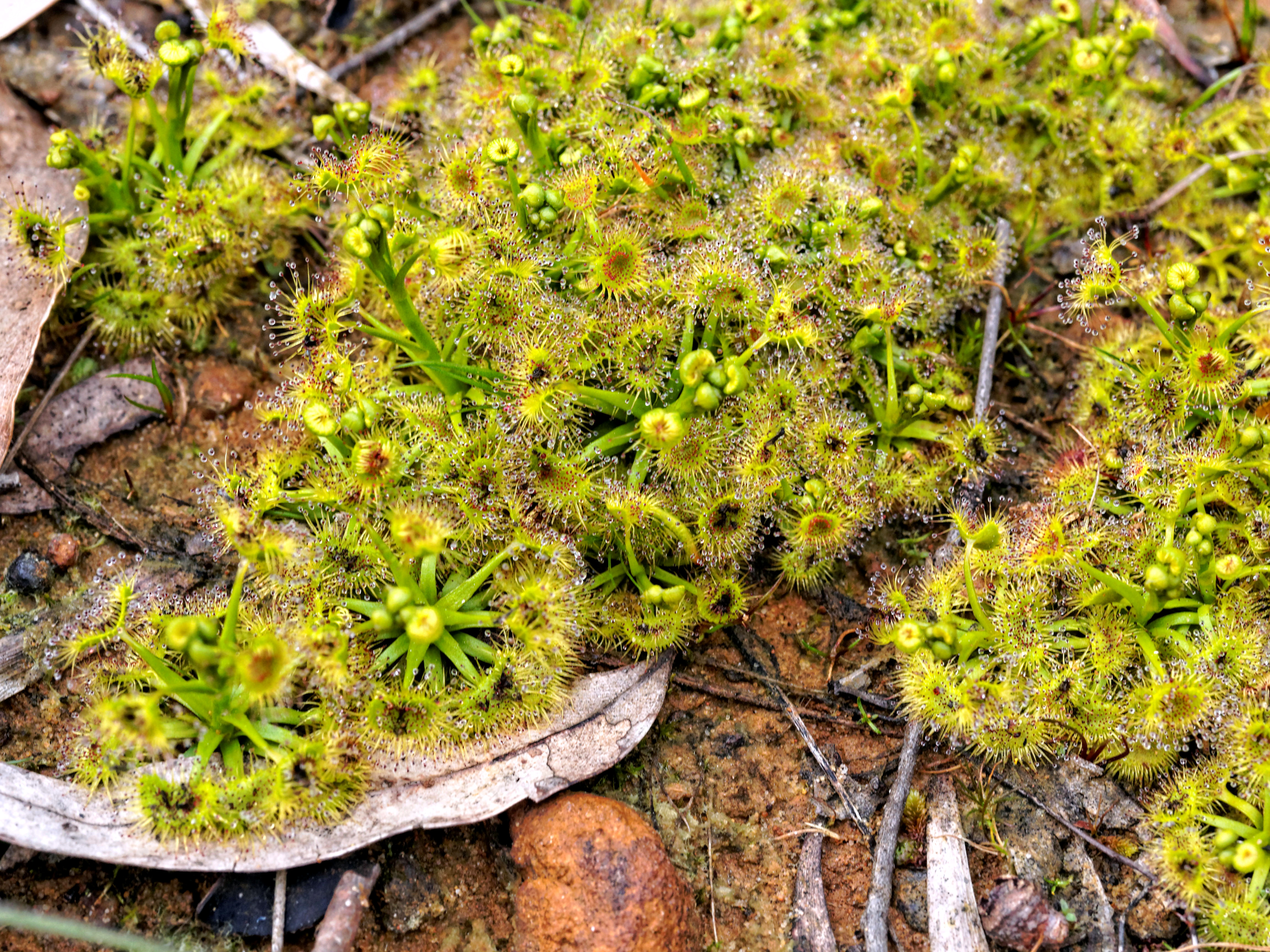 This should be Drosera.jpeg.  Is it missing?