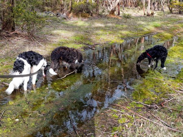 Dogs-drinking-2.jpeg