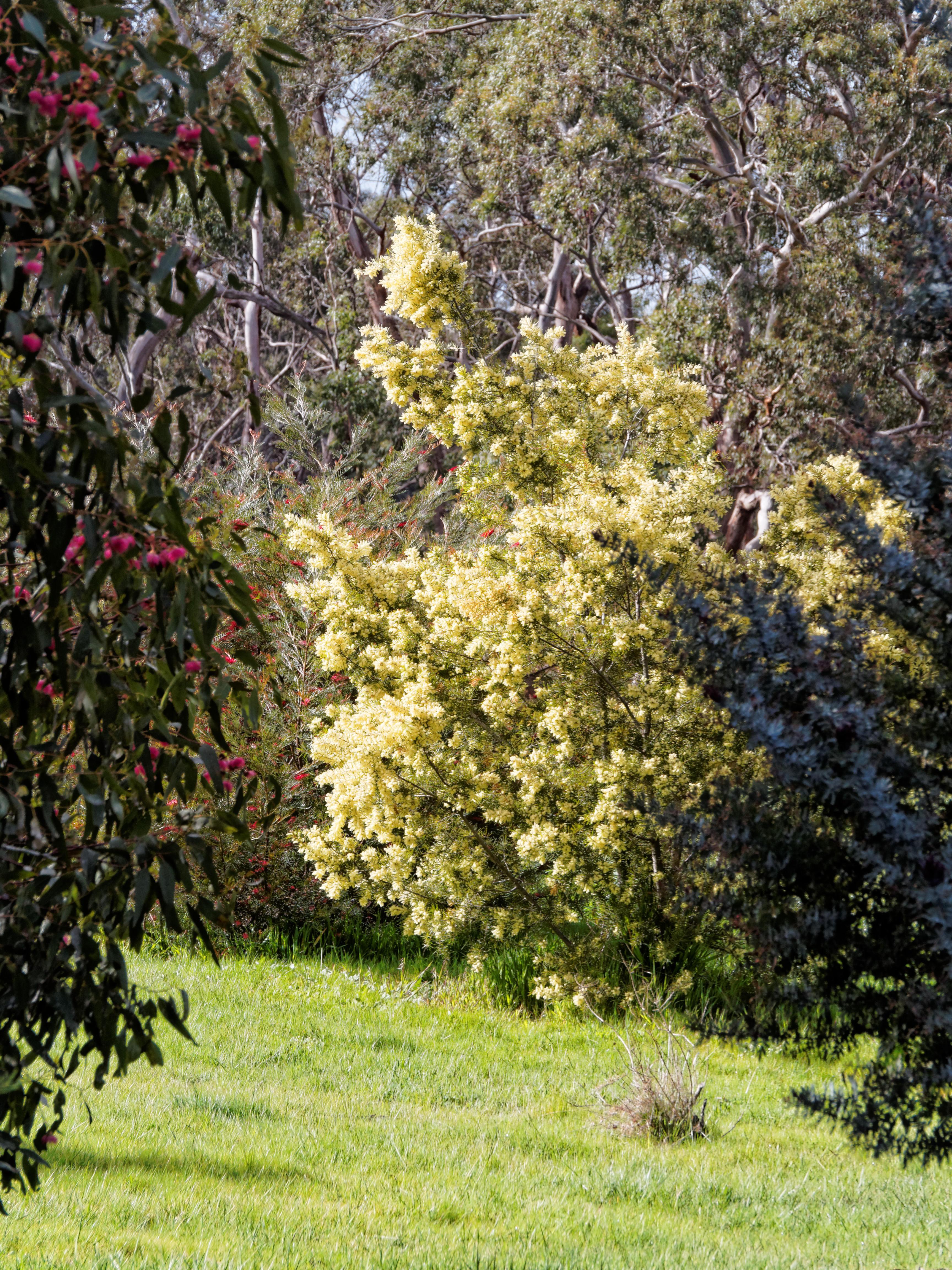 Acacias-3.jpeg