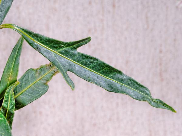Solanum-aviculare-4.jpeg