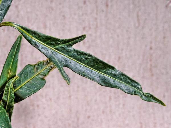 Solanum-aviculare-5.jpeg