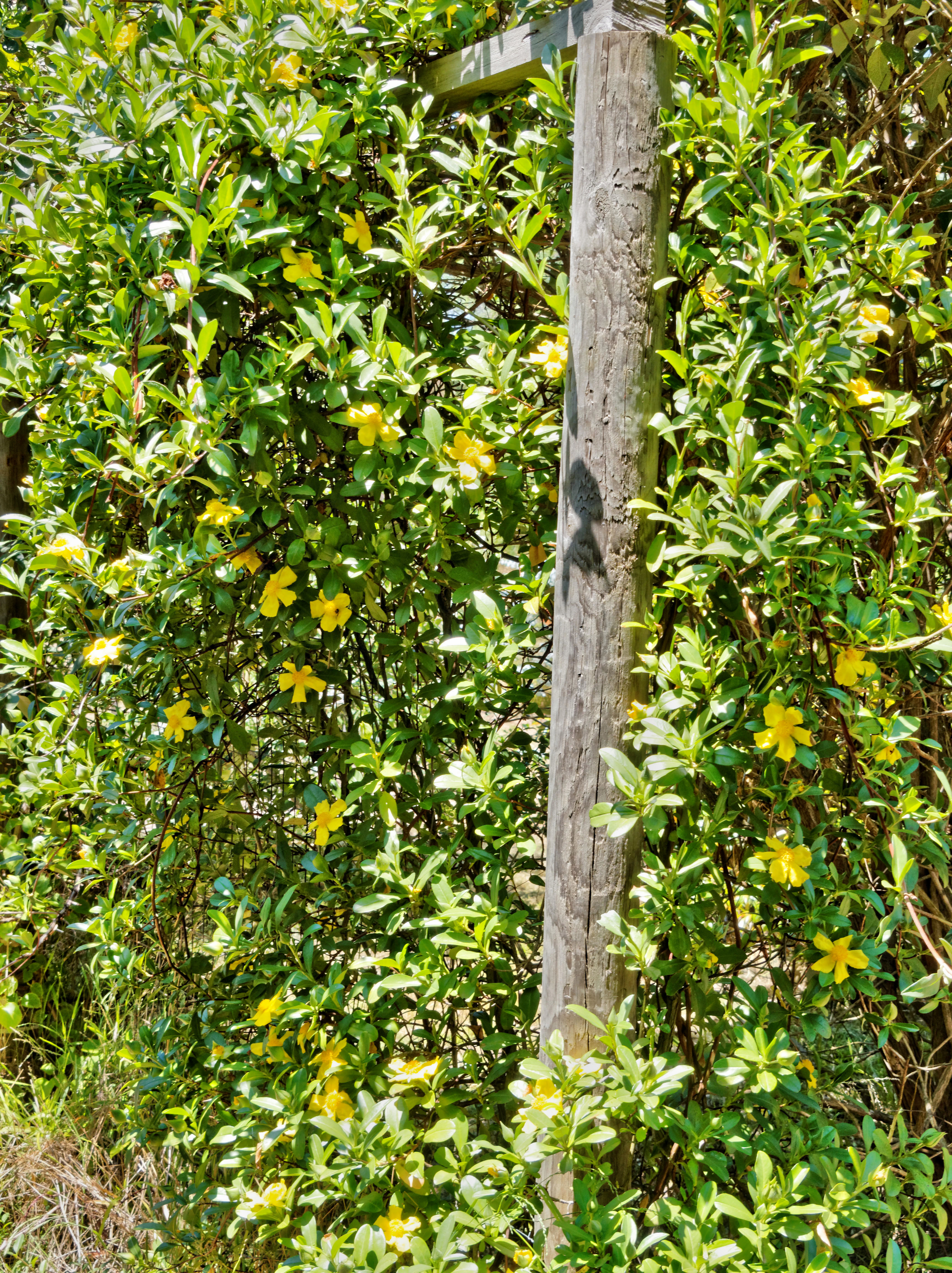Hibbertia-scandens-1.jpeg