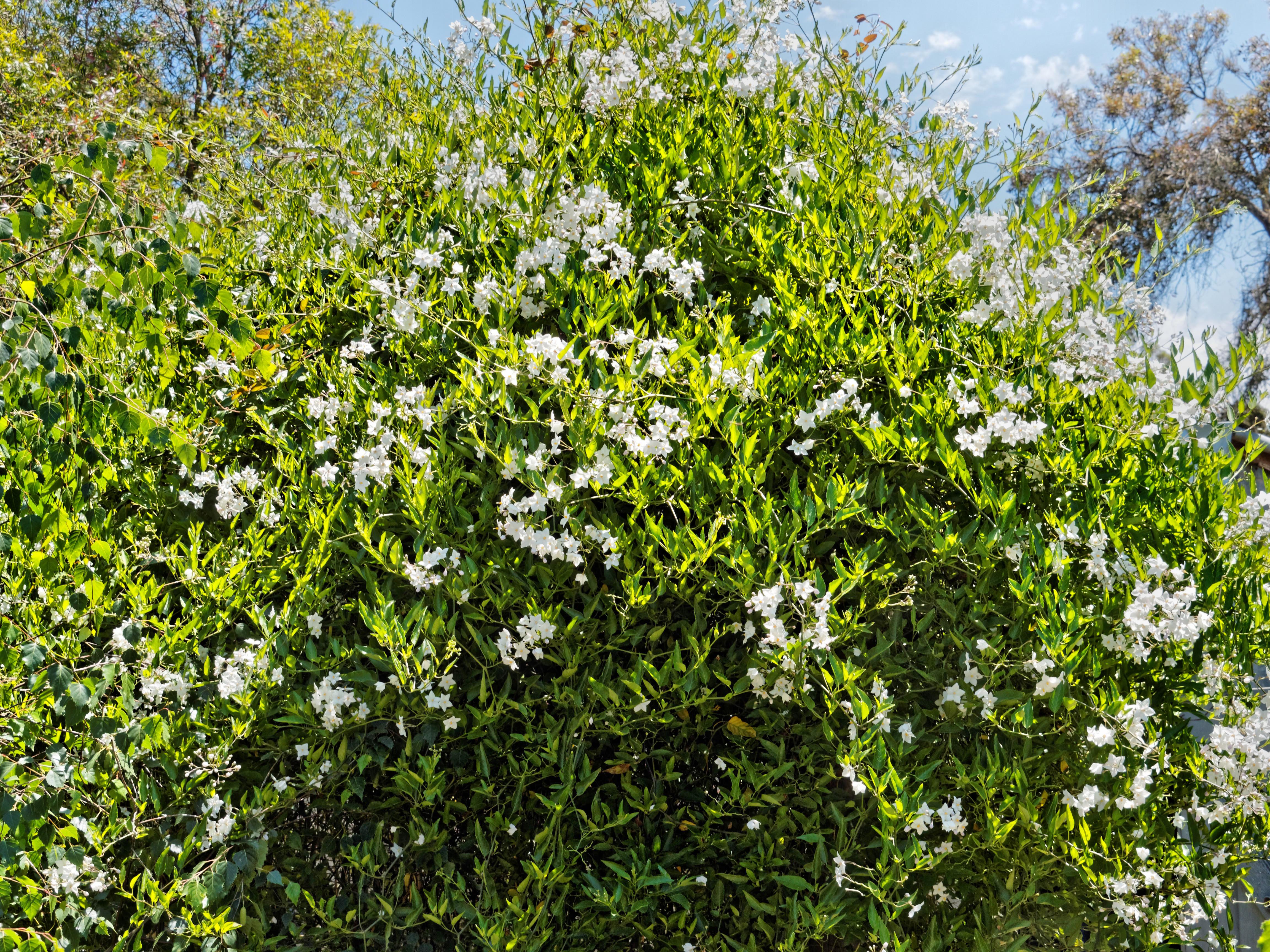Solanum-2.jpeg
