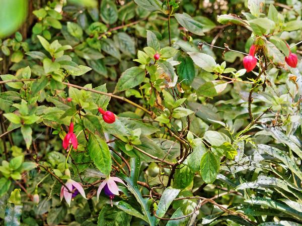 Fuchsia.jpeg