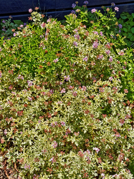 Pelargonium-4.jpeg