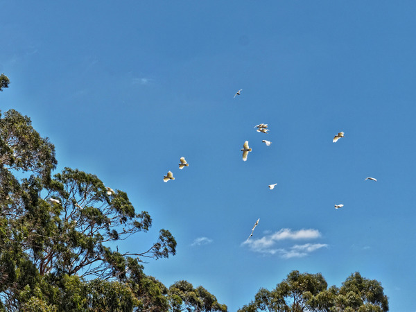 Cockatoos-1.jpeg