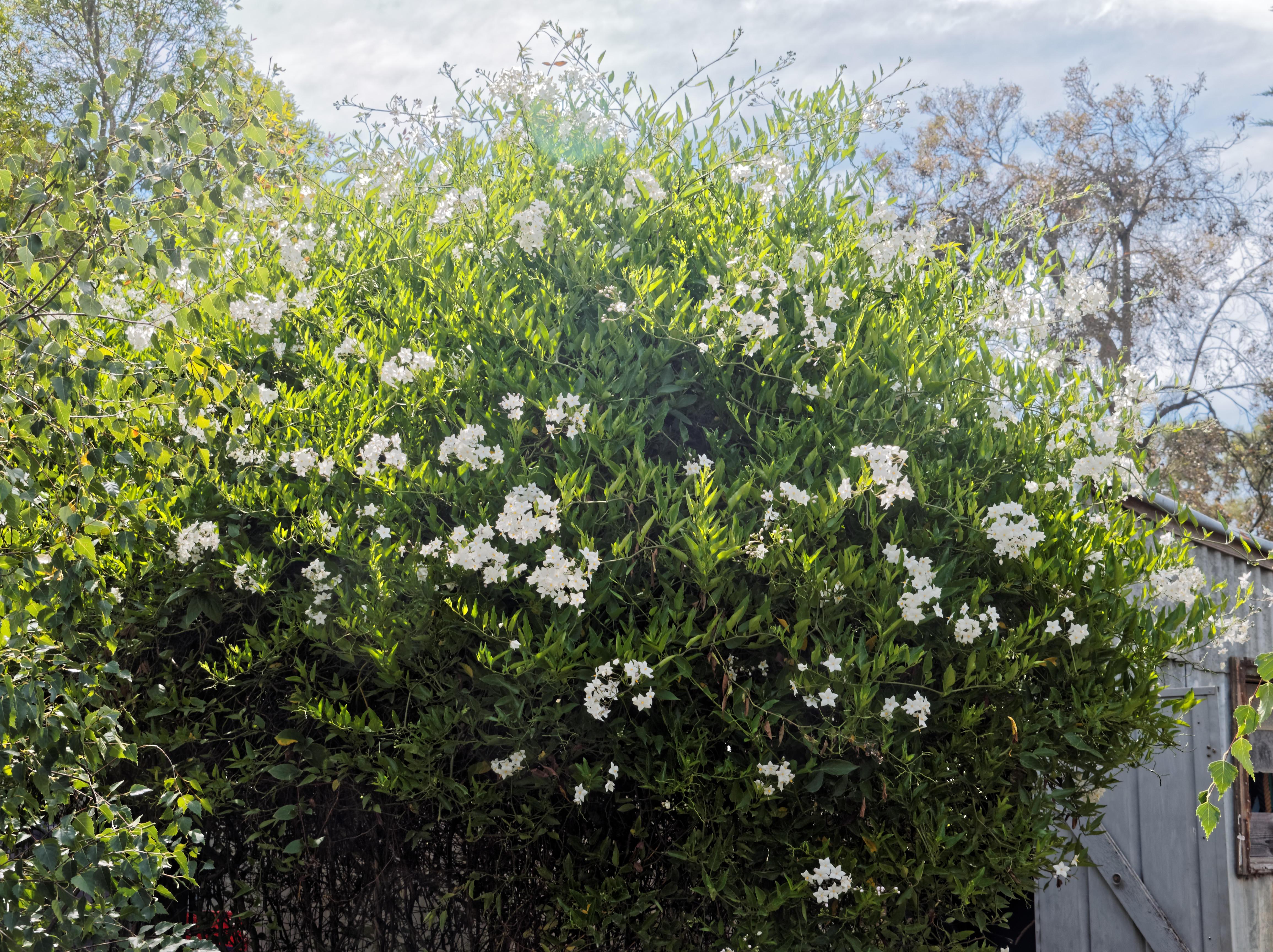 Solanum-laxum-2-orig.jpeg