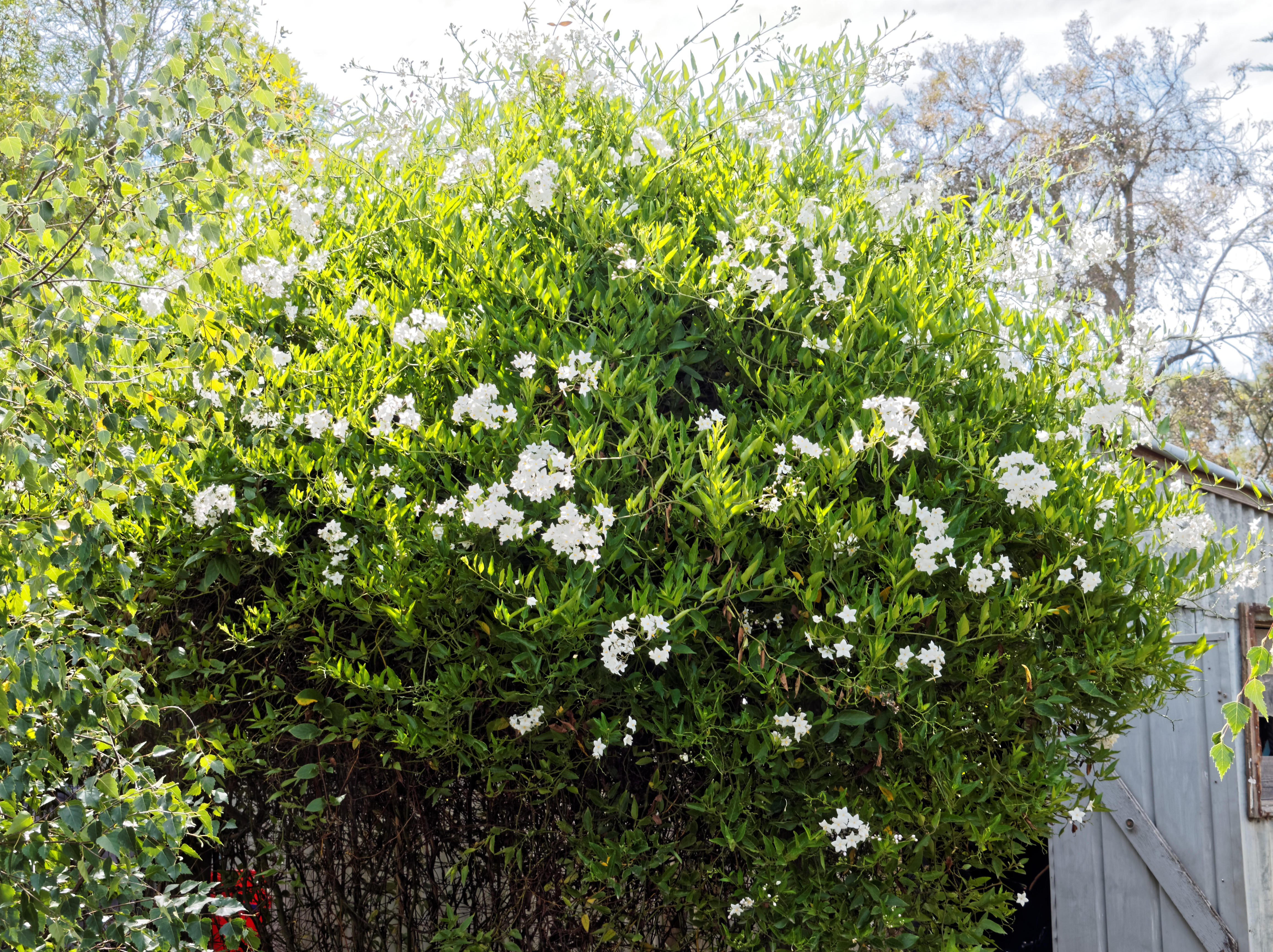 Solanum-laxum-3-orig.jpeg
