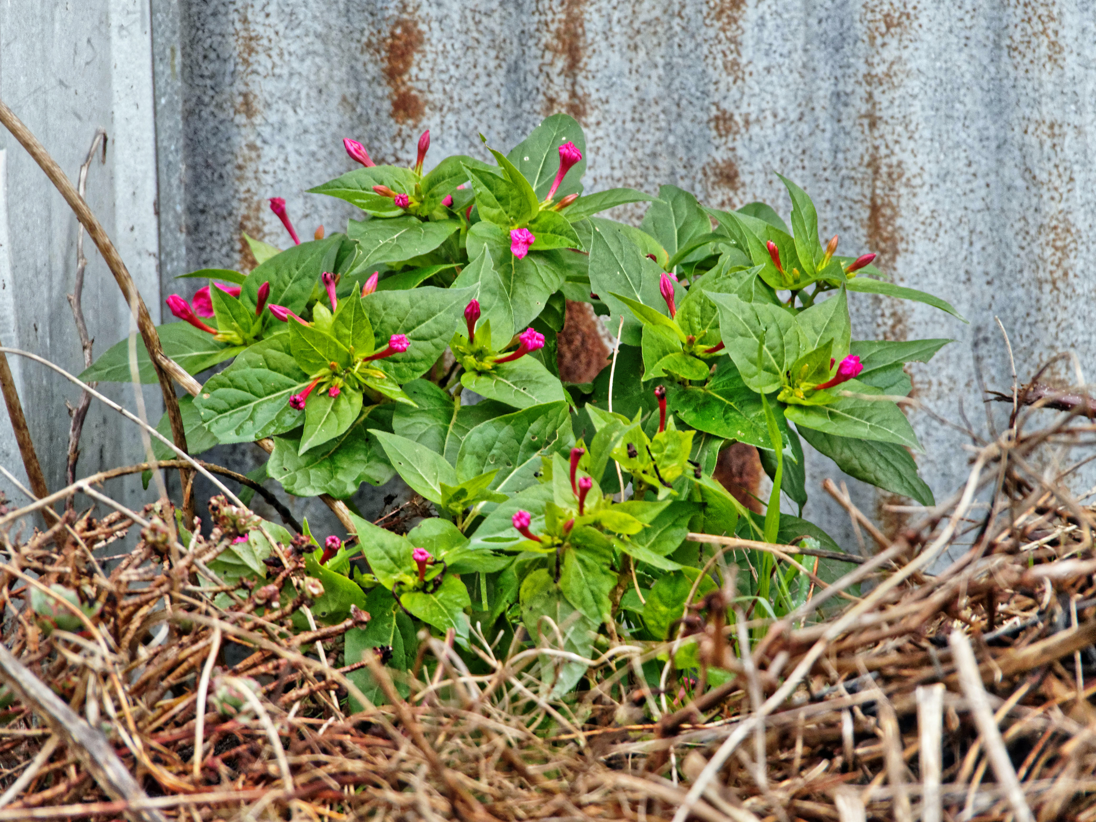 This should be Mirabilis-jalapa-2.jpeg.  Is it missing?