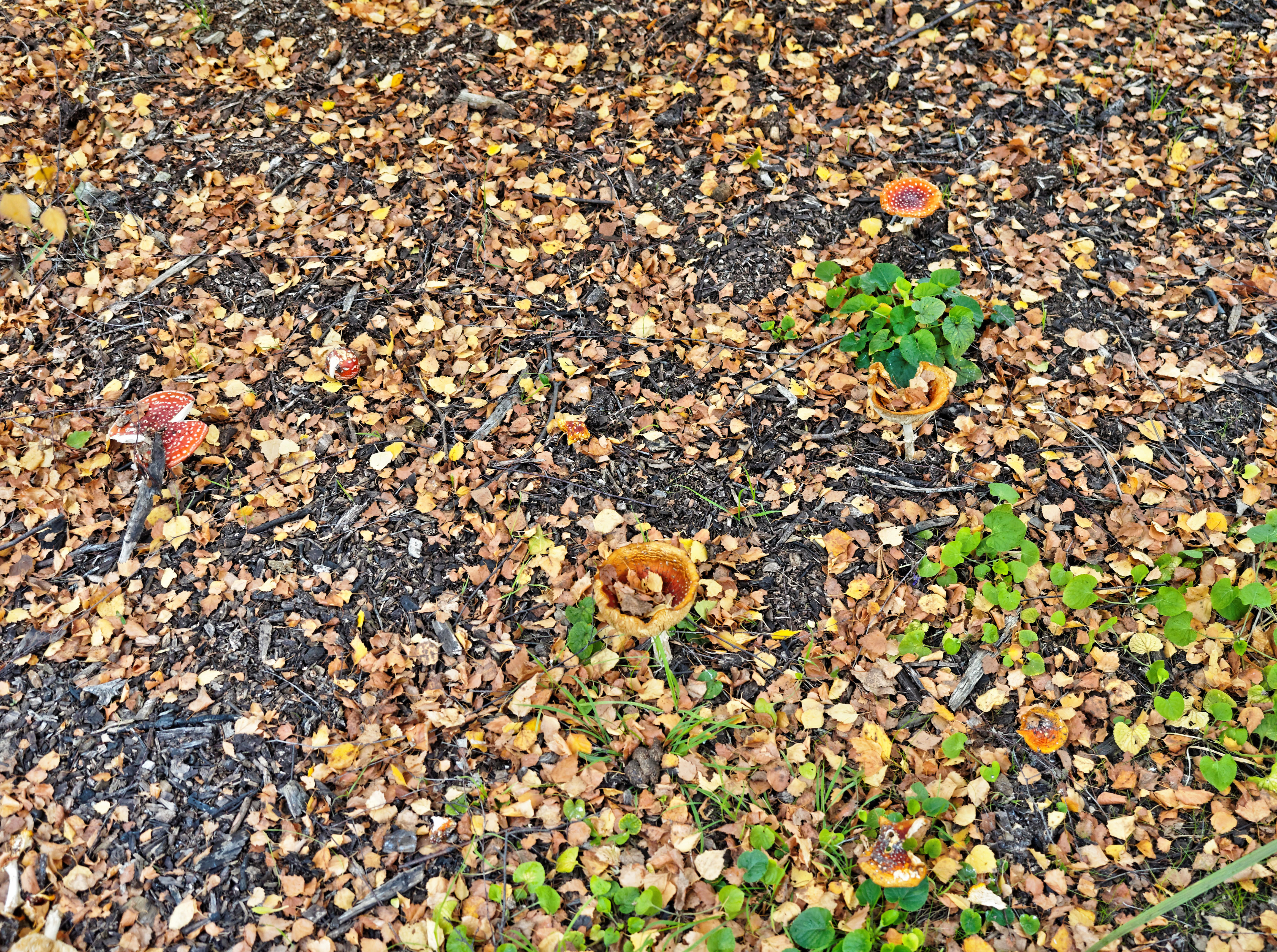 Amanita-muscaria-2.jpeg