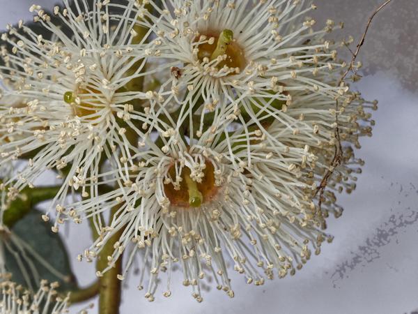 Eucalyptus-flower-DMap.jpeg