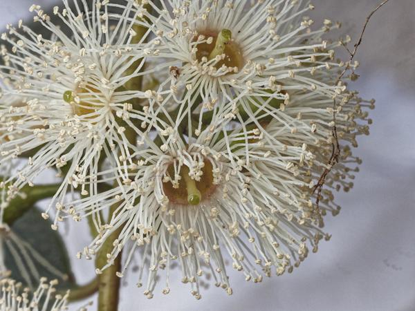 Eucalyptus-flower-PMax.jpeg