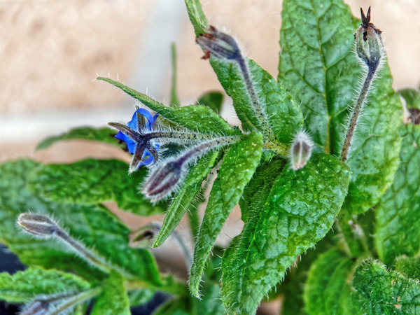 Borage.jpeg