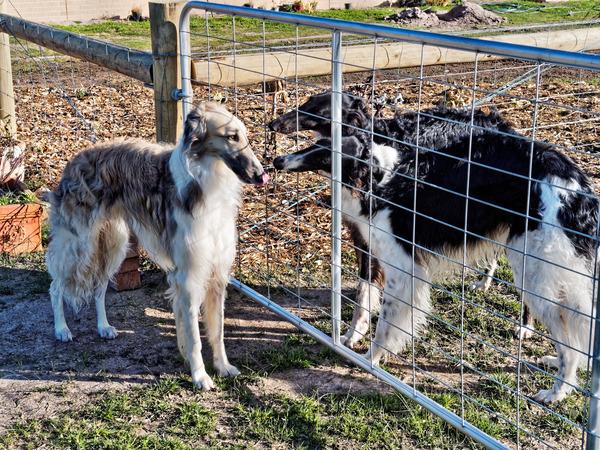 Dogs-in-Dereel-10.jpeg