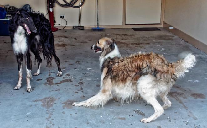 Dogs-in-Dereel-38.jpeg
