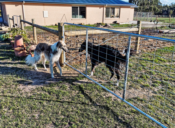 Dogs-in-Dereel-4.jpeg