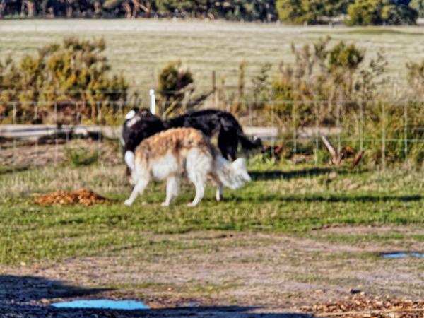 Dogs-in-Dereel-52.jpeg