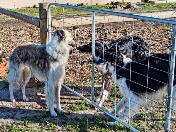 Dogs-in-Dereel-9.jpeg