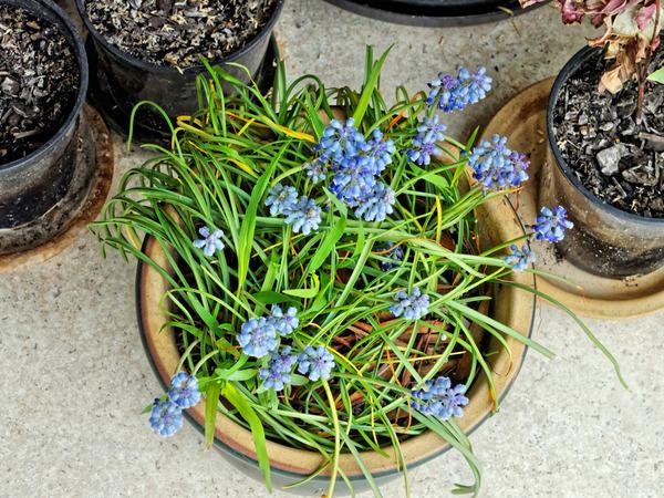 Grape-hyacinth-2.jpeg